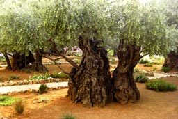 Israel Tour from South Africa - Gathsemane